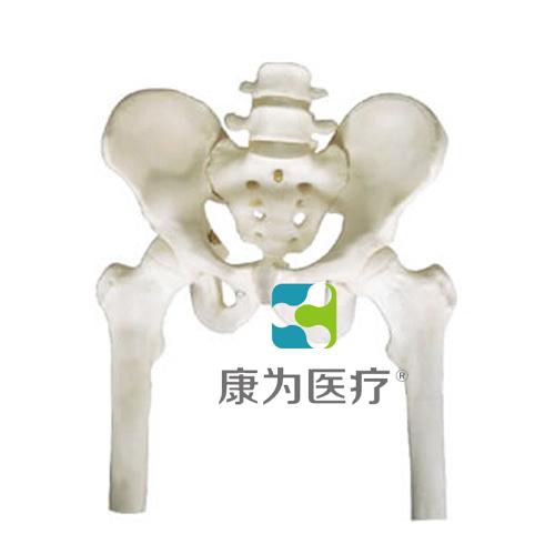 """""""康为医疗""""骨盆带两节腰椎附半腿骨模型"""
