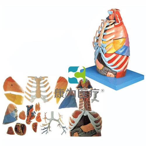 """""""康为医疗""""胸腔解剖模型"""