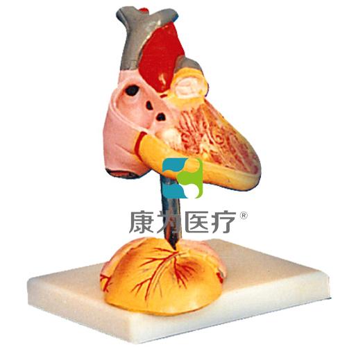"""""""康为医疗""""儿童心脏解剖放大模型"""