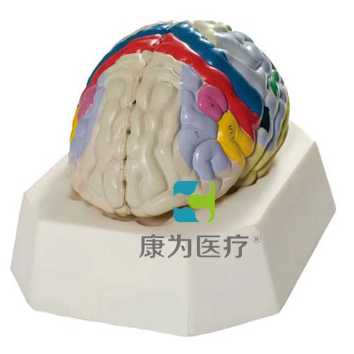 """""""康为医疗""""大脑皮质功能定位模型"""
