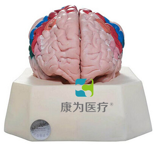 """""""康为医疗""""大脑皮质分区模型"""