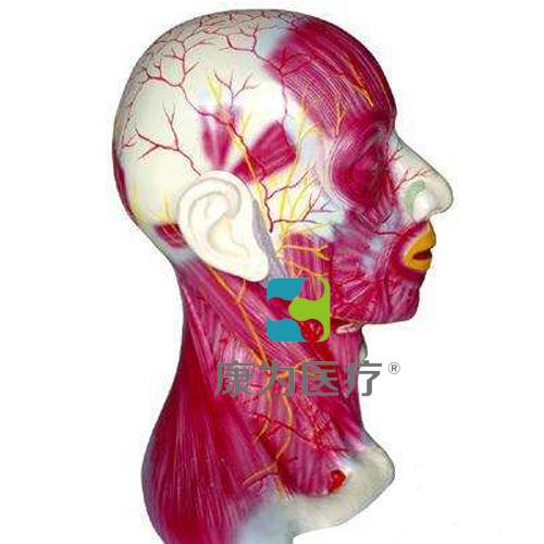 """""""康为医疗""""头颈部深层解剖模型"""