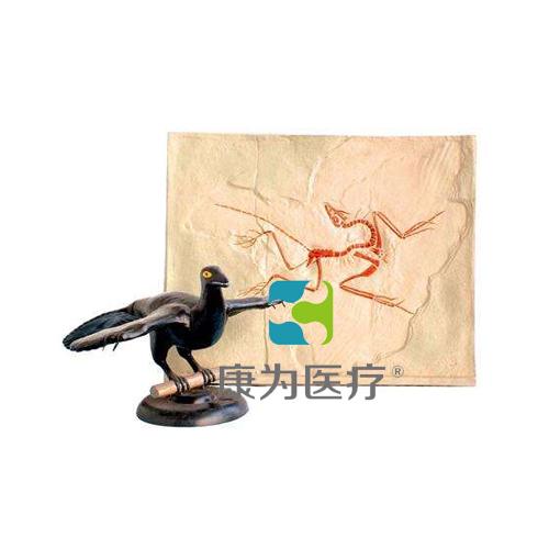 """""""康为医疗""""始祖鸟化石及复原模型"""