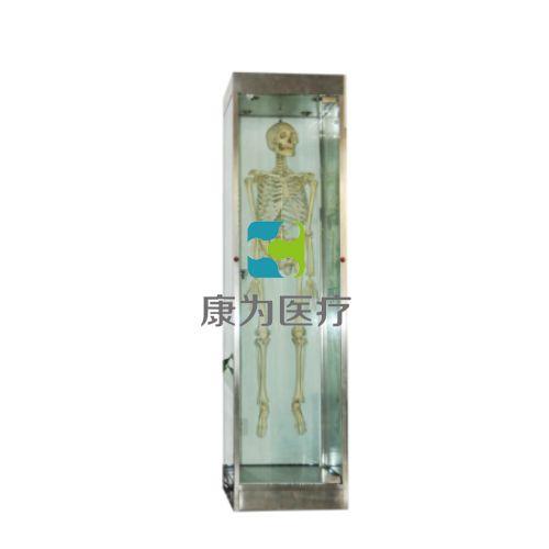 """""""康为医疗""""骨架柜/骨骼标本柜"""
