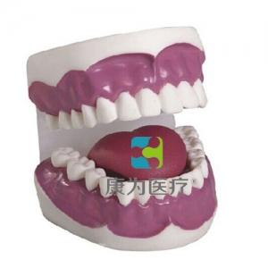 """""""康为医疗""""牙护理保健模型(28颗牙)(放大3倍)"""