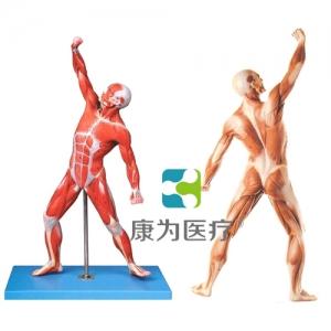 """""""康为医疗""""人体全身肌肉运动模型"""
