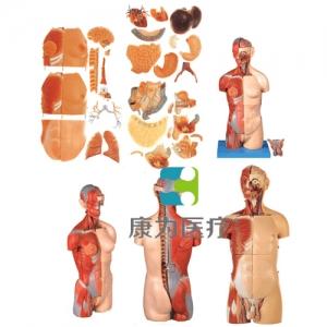 """""""康为医疗""""男、女两性互换肌肉内脏背部开放式头颈躯干模型"""