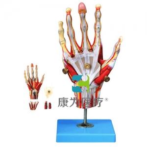 """""""康为医疗""""手肌附主要血管神经模型"""
