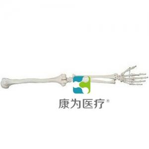 """""""康为医疗""""自然大上肢骨模型"""
