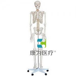 """""""康为医疗""""男性全身骨骼模型"""