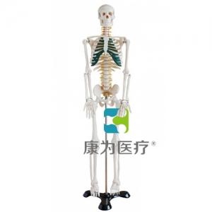"""""""康为医疗""""85CM人体骨骼带神经模型"""