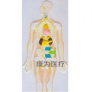 """""""康为医疗""""神经系统及内分泌腺浮雕模型"""