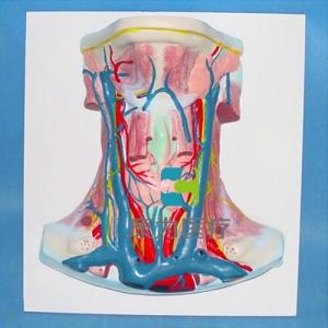 """""""康为医疗""""颈部动静脉血管分布模型"""