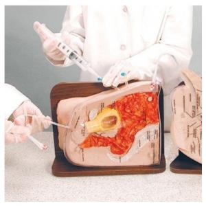 德国3B Scientific®女性尿道插管模型